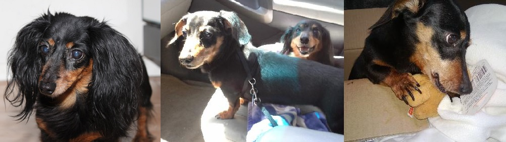 Maximus & Kiki - Furever Dachshund Rescue