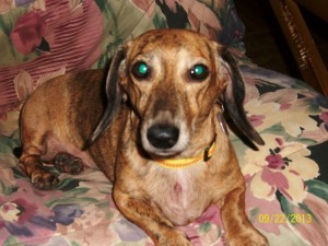 Lacey - Adoptable Dachshund